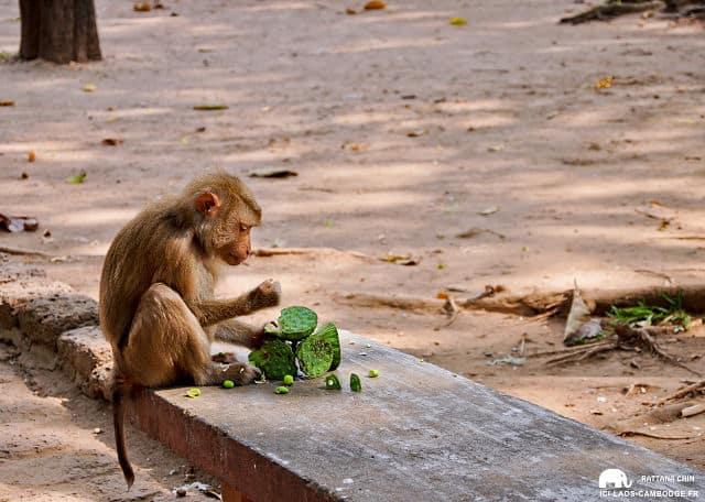 Petit singe aux alentours de Wat Phnom