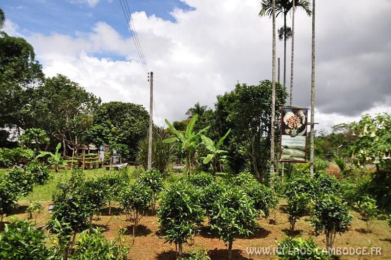 Visiter Paksé: Plantation de thé