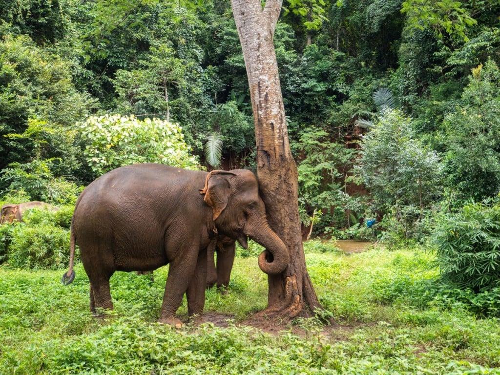 L'éléphant va se gratter en sortie de bain
