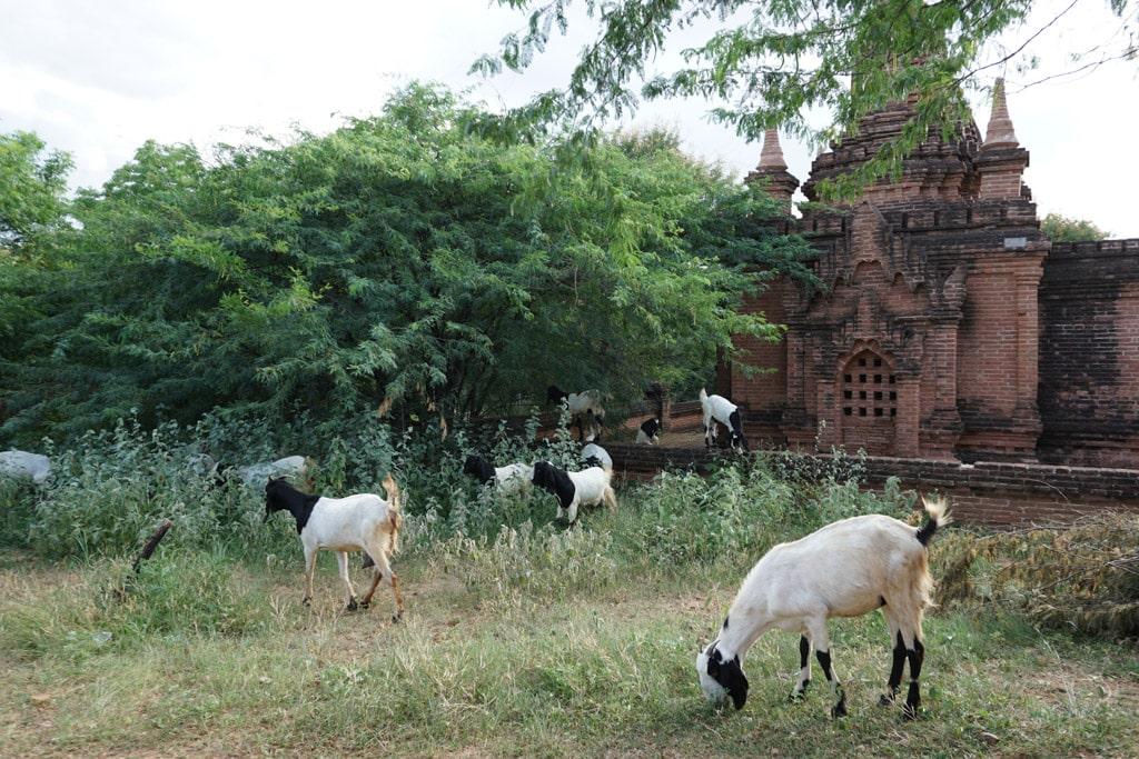Chèvres à Bagan