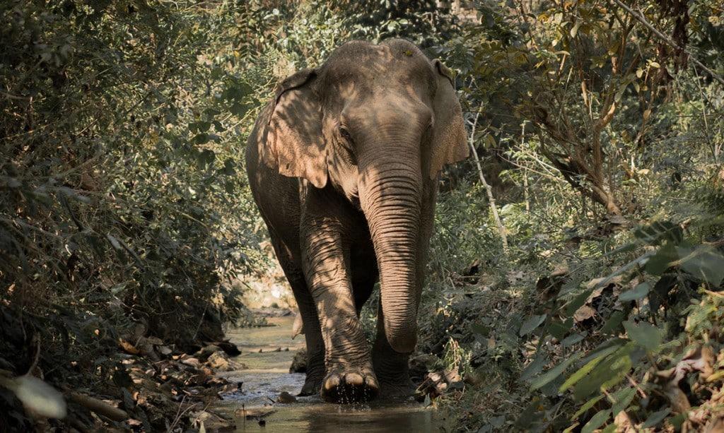 Eléphant au Laos