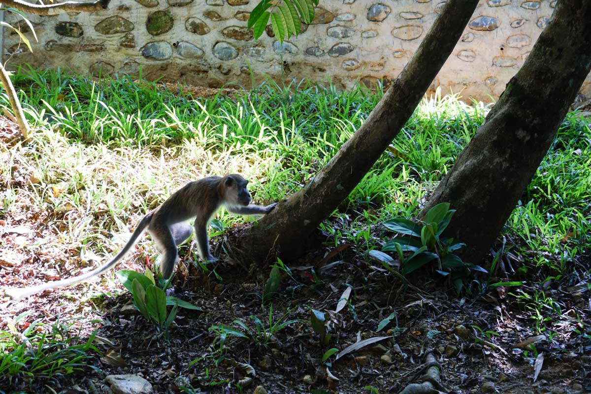 Macaque crabier à Gunung Leuser